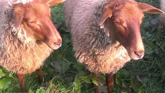 Schaffreunde geben ihr Hobby auf
